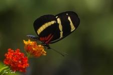 metulji/butterflies