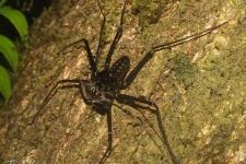 nitastonogi pajkovci/whipscorpions
