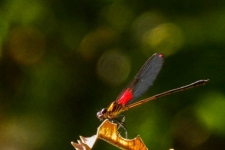 kačji pastirji/dragonflies
