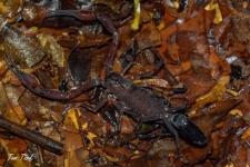 škorpijoni/scorpiones