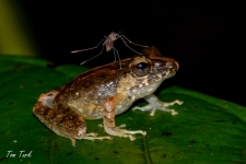 žabe/frogs